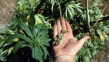 Marijuana Plants and Buds